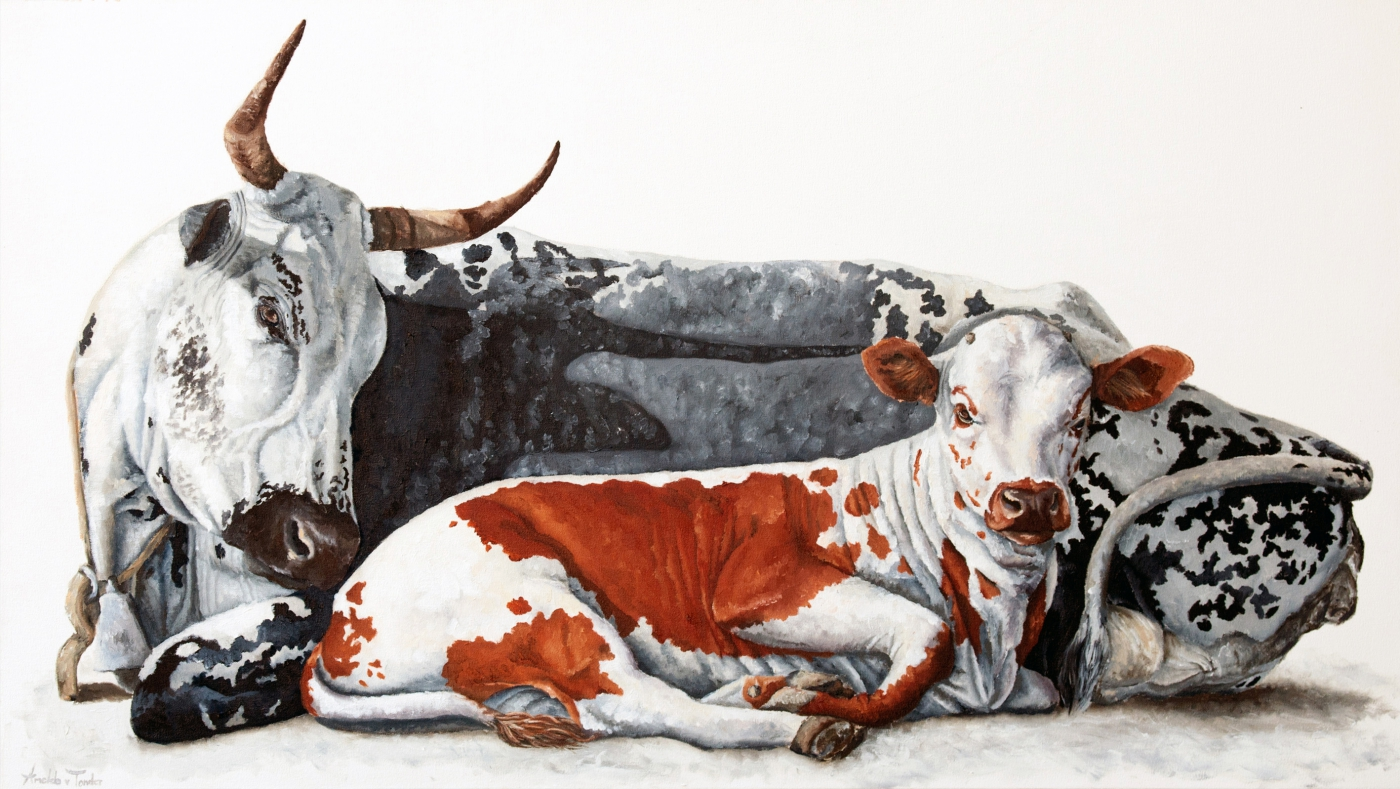 A selection of oil paintings depicting nguni cattle